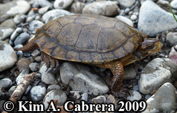 western pond turtle. Photo copyright Kim A. Cabrera 2009