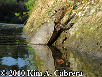 scenic view of turtle at water's edge. Photo copyright Kim A. Cabrera.