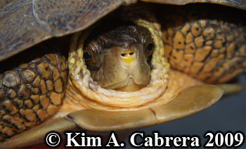 pond turtle in shell. Photo copyright Kim A. Cabrera 2009.