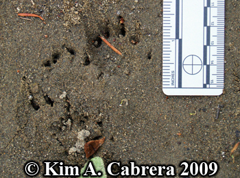 pond turtle tracks. Photo copyright Kim A. Cabrera 2009.