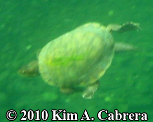 pic of turtle swimming. Photo copyright Kim A. Cabrera.