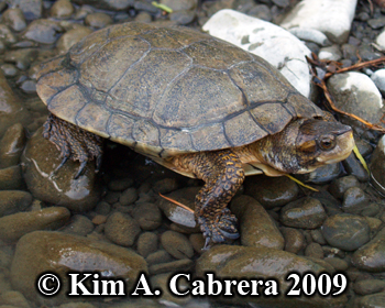handsome turtle. Photo copyright Kim A. Cabrera.