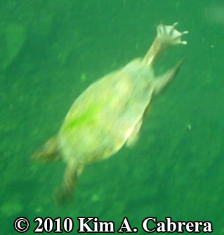 turtle swimming showing webbed feet. Photo copyright Kim A. Cabrera.