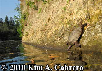 turtle on steep cliff face. Photo copyright Kim A. Cabrera.