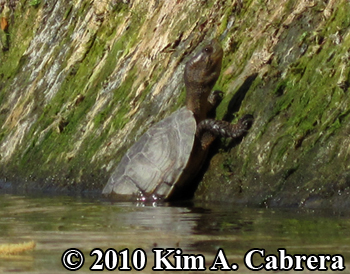 pond turtle at water's edge. Photo copyright Kim A. Cabrera.