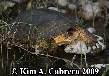 cautious turtle on rocks. Photo copyright Kim A. Cabrera.