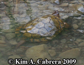 swimming turtle. Photo copyright Kim A. Cabrera.