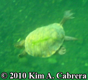 turtle swimming. Photo copyright Kim A. Cabrera.